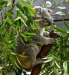 Bio Eukalyptusöl 100 ml