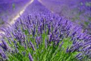 Bio Lavendelwasser 100 ml