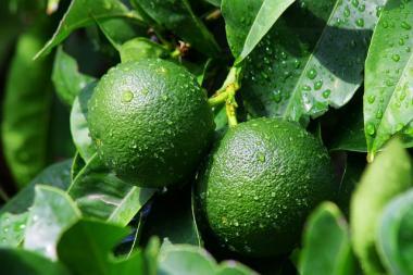 Bio Mandarine (grun) Öl