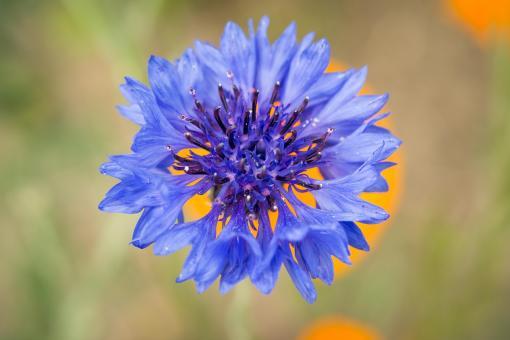 Organic cornflower hydrosol