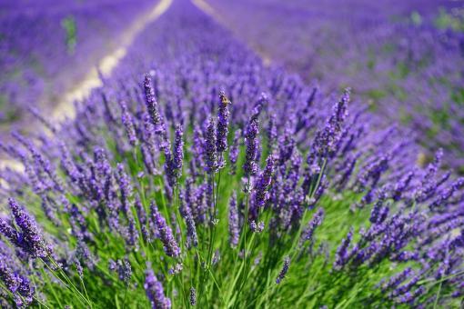 Organic lavender hydrosol 250 ml