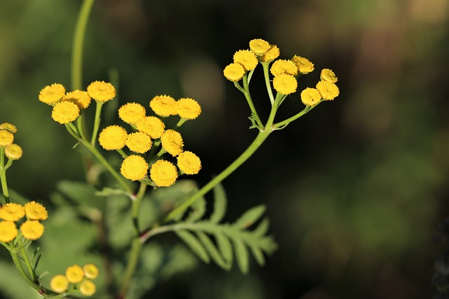 Bio Helichrysum-Öl