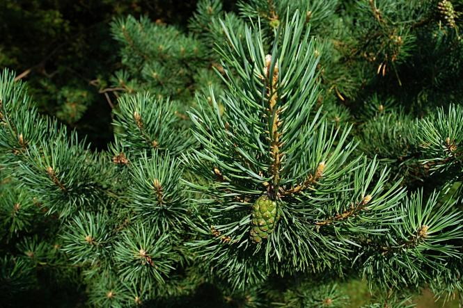 Pine (Scotch) oil